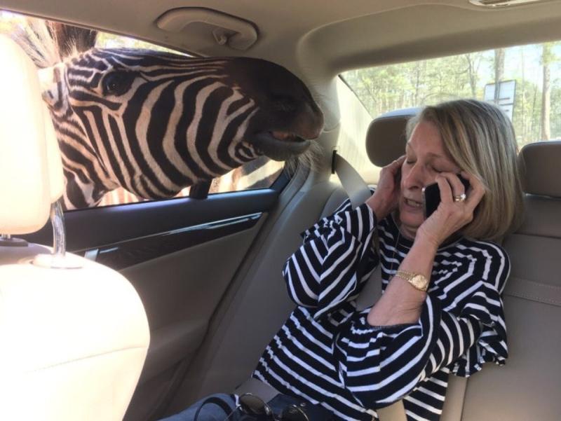 Cultural Appropriation Zebra